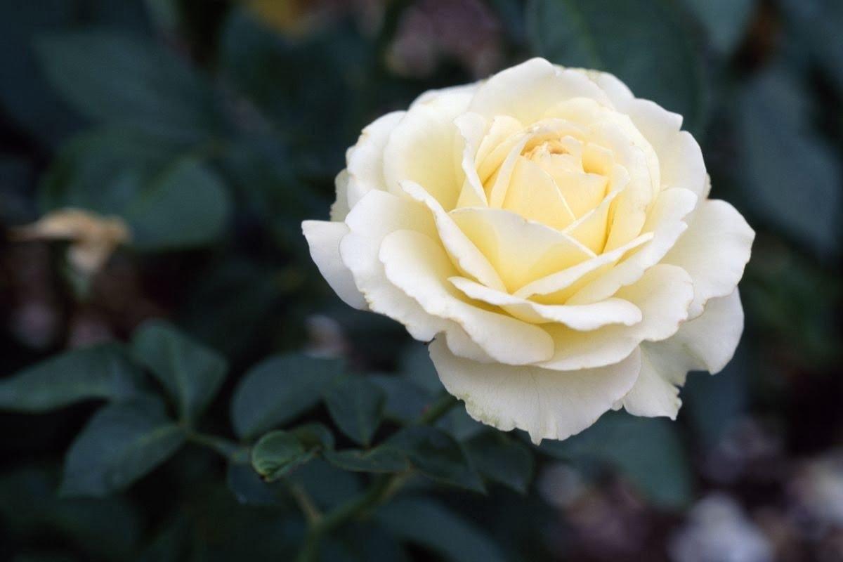 """Hoa hồng trắng, mật ong hấp cách thủy giúp bé """"đánh tan"""" cơn ho"""