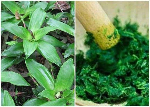 Bài thuốc chữa ho từ lá lược vàng và giấm chuối